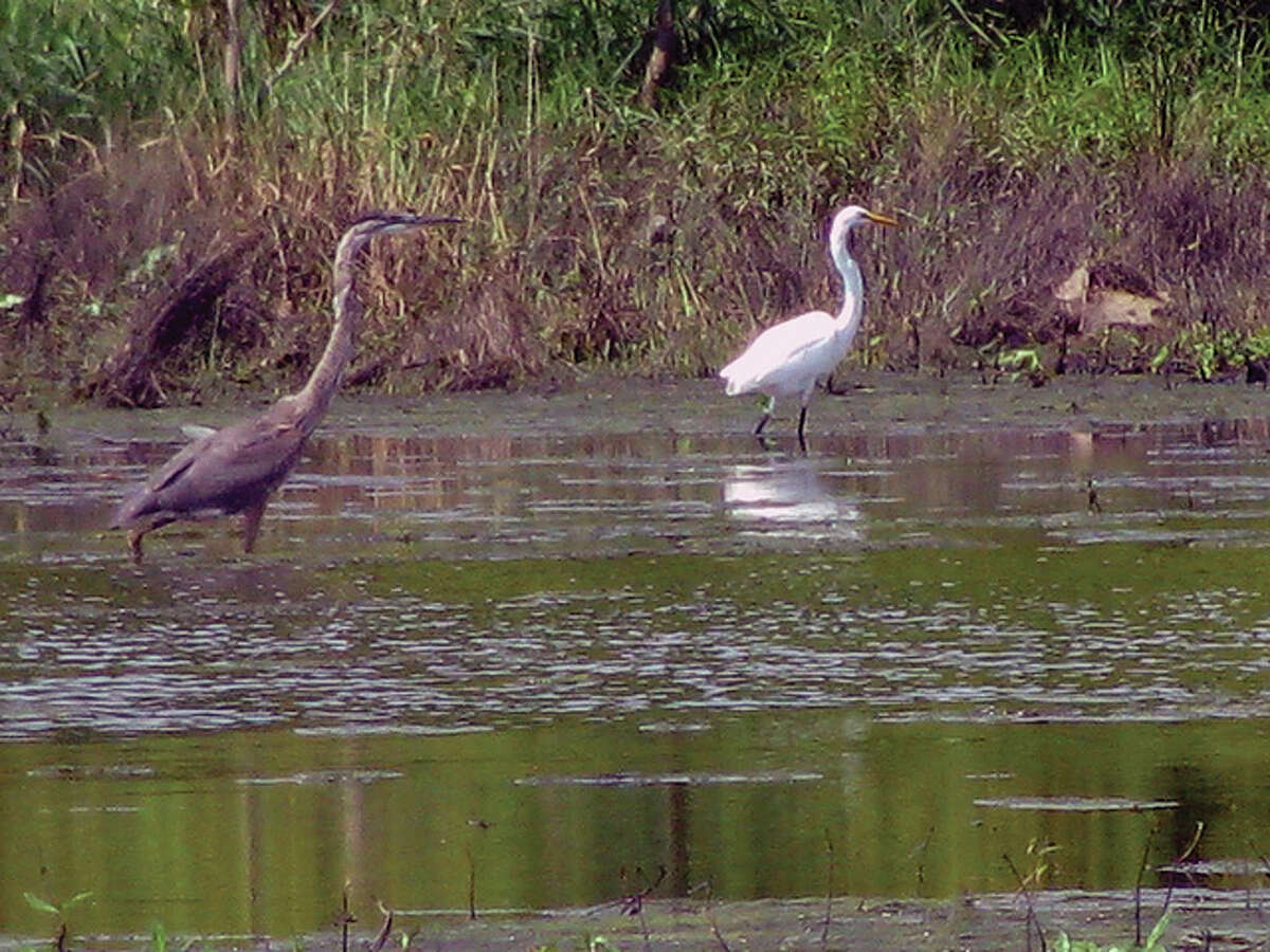 Beverly Watkins | Reader photo A blue heron and an egret enjoy the water in a marshy area east of White Hall.