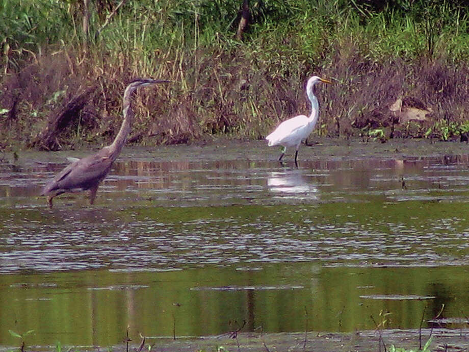Beverly Watkins   Reader photo A blue heron and an egret enjoy the water in a marshy area east of White Hall.