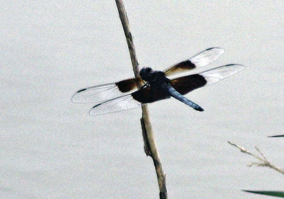 A dragonfly lands on a weed in the countryside. Photo: Beverly Watkins | Reader Photo