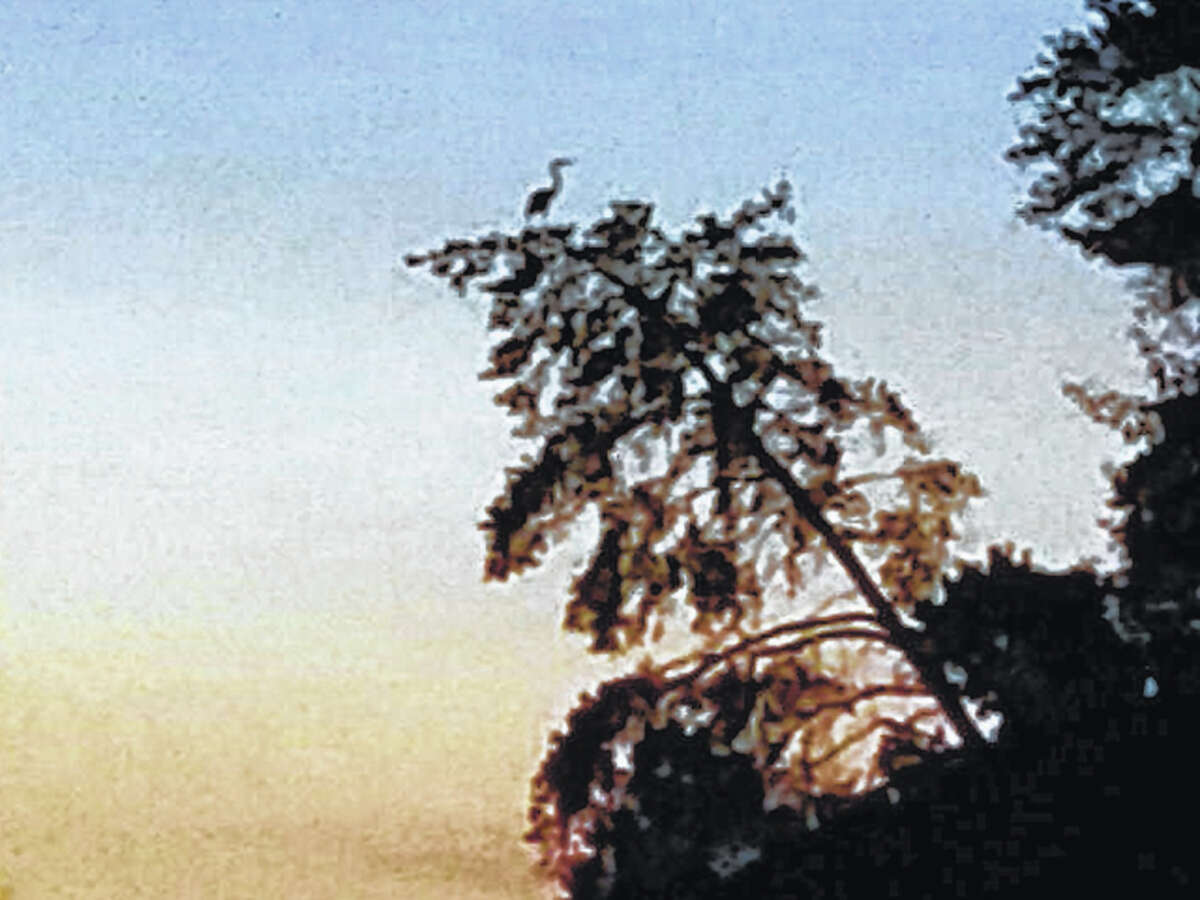 Chris Fairfield   Reader photo Reader Chris Fairfield was spending time at Lake Jacksonville when he caught this unusual sight: A blue heron perched on the top of one of the trees.