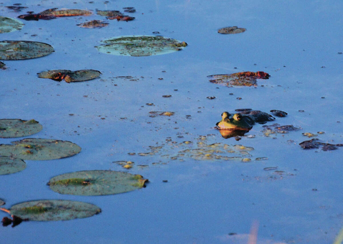 Jeff Ruzicka | Reader photo A bullfrog enjoys the morning sun in a Pike County pond.