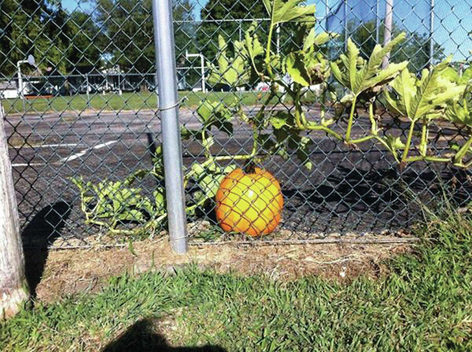 A pumpkin grows on a tennis court in Alexander, apparently waiting for Halloween. Photo: Becky Utley | Reader Photo