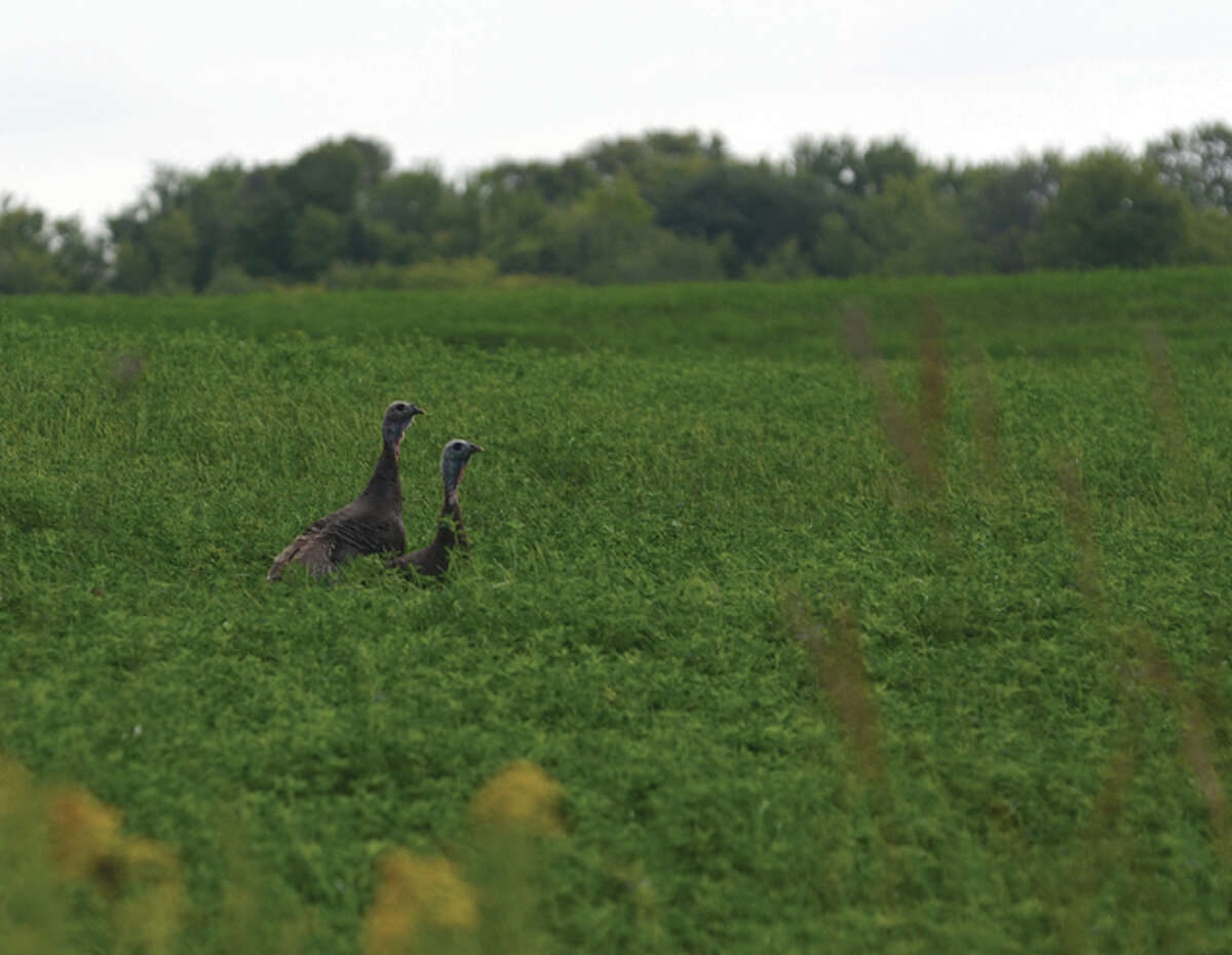 Jeff Ruzicka | Reader photo A pair of wild turkeys take a stroll through the countryside of Pike County.