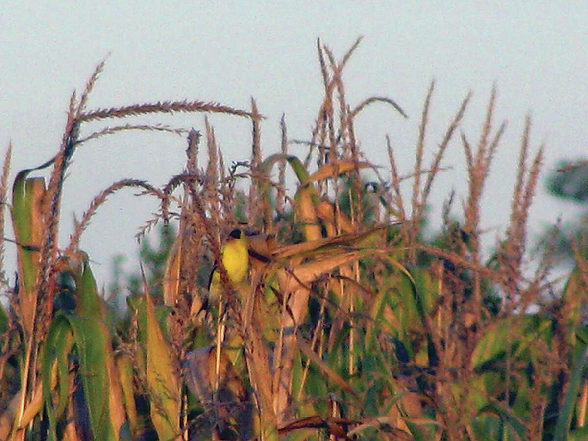 Beverly Watkins   Reader photo A yellow finch tries its best to blend into the surroundings of a cornfield north of Scottville.