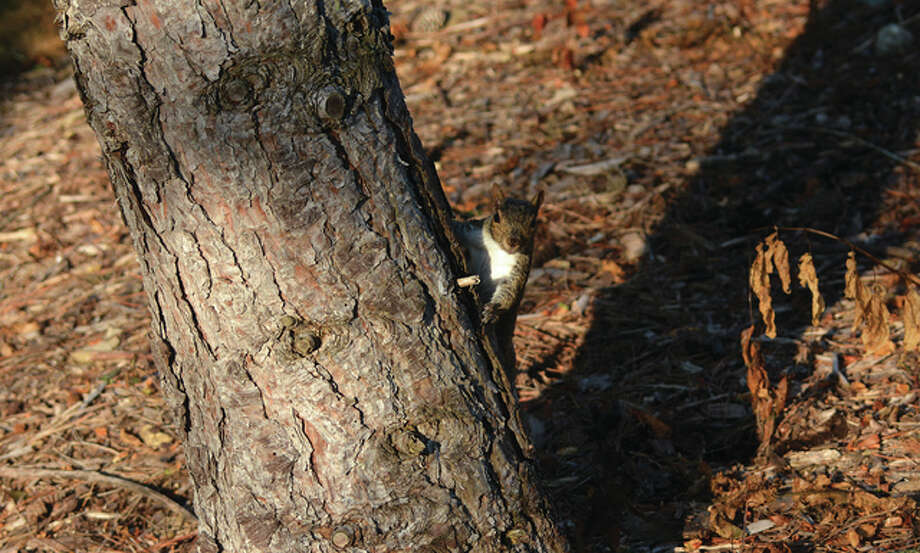 Jeff Ruzicka | Reader photo A gray squirrel pokes its head around a tree as it scurries for cover.