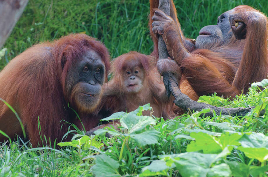 """""""Merah,"""" a 45-year-old Sumatran orangutan, gave birth to the Saint Louis Zoo's latest addition to its orangutan family last Dec. 14 at its Jungle of the Apes — a female named Ginger. The father is Cinta, 10, who came to St. Louis in 2012 from the San Diego Zoo. The orangutan family can be located in either their indoor habitat in Jungle of the Apes or outdoor habitat at Fragile Forest. Photo: Robin Winkelman 