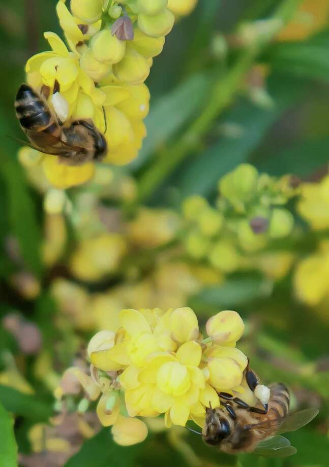 Soft Caress mahonia is excellent for winter pollinators. Photo: Norman Winter, HO / TNS