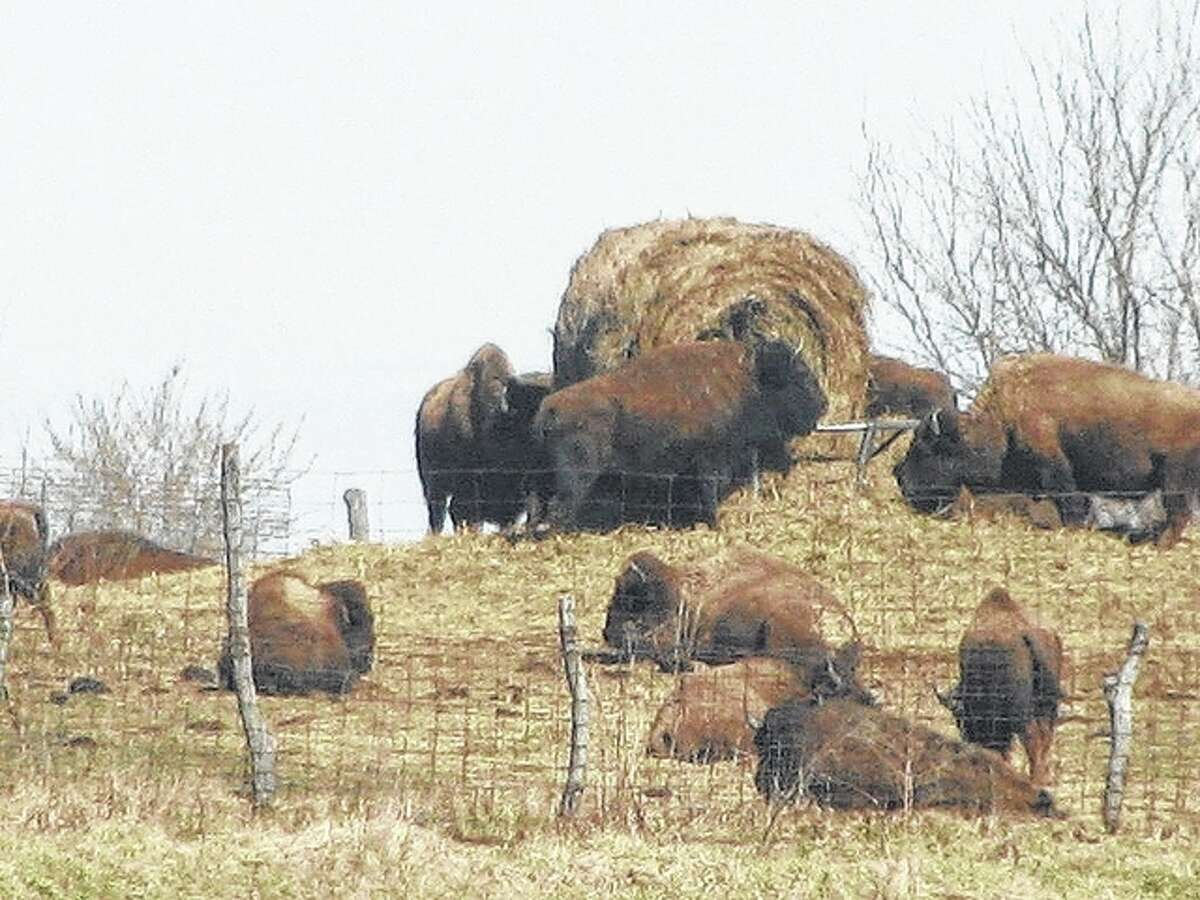 Buffalo graze on land along U.S. 67 near Interstate 72.