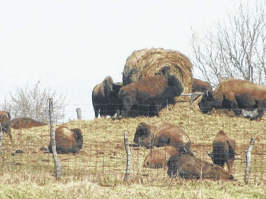 Buffalo graze on land along U.S. 67 near Interstate 72.