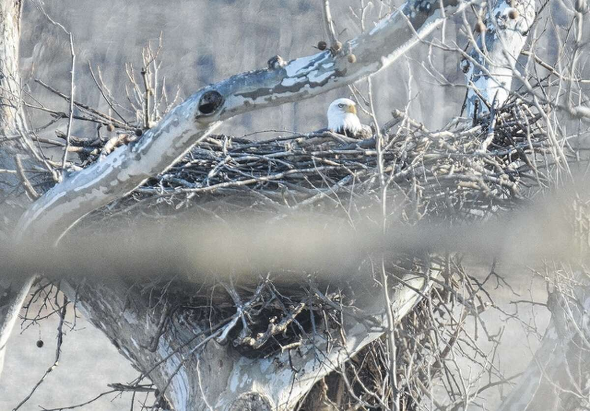 An eagle sits in its nest in a tree in Pike County.