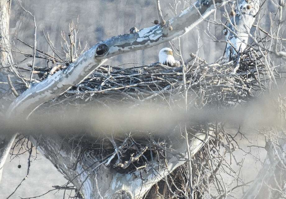 An eagle sits in its nest in a tree in Pike County. Photo: Jeff Ruzicka | Reader Photo