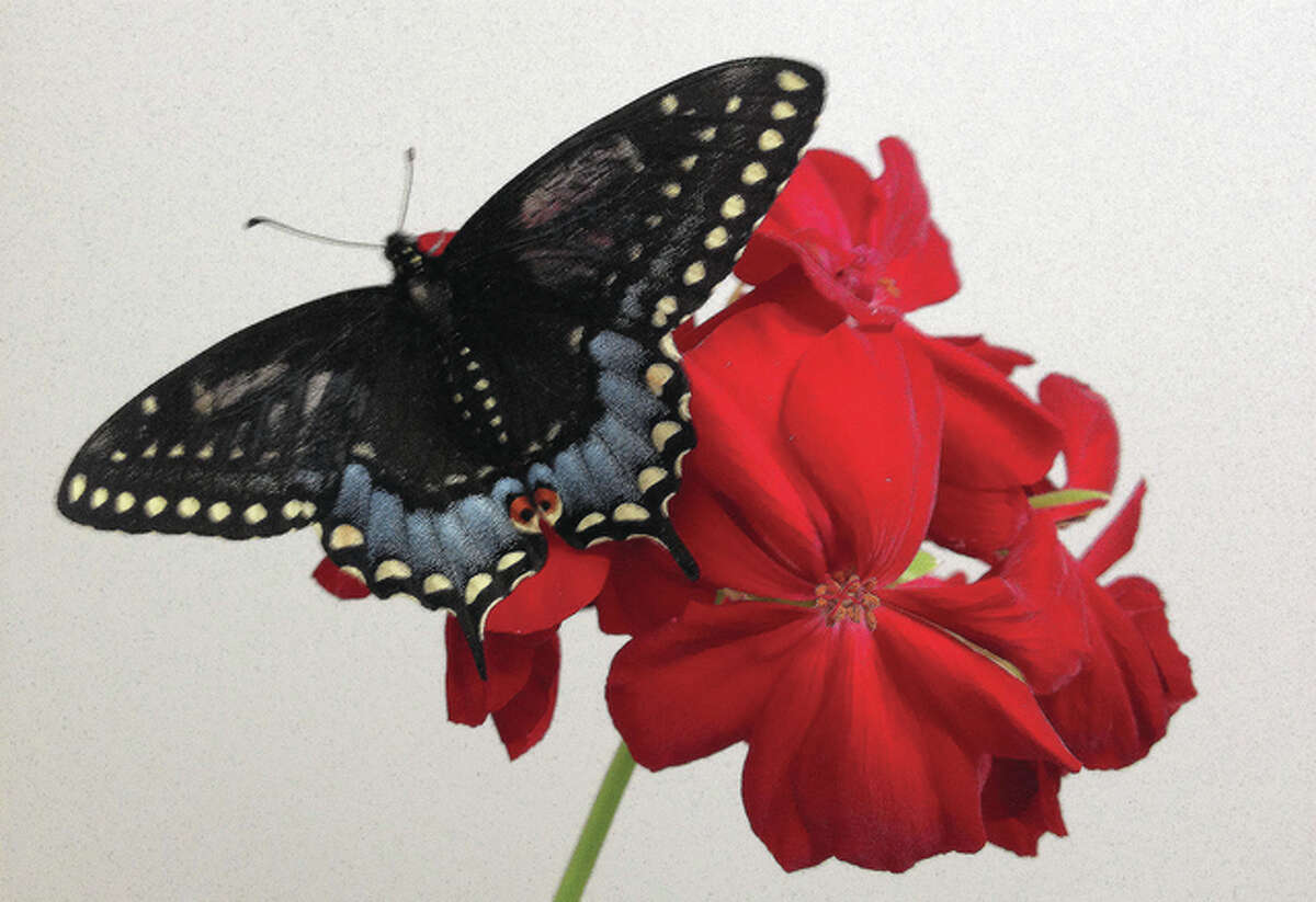 A butterfly that hatched a little early enjoys a geranium.