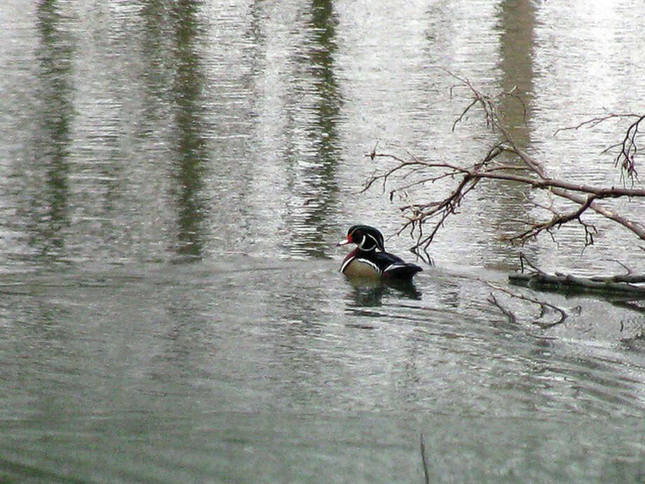A wood duck enjoys a swim in a farm pond east of White Hall. Photo: Beverly Watkins | Reader Photo