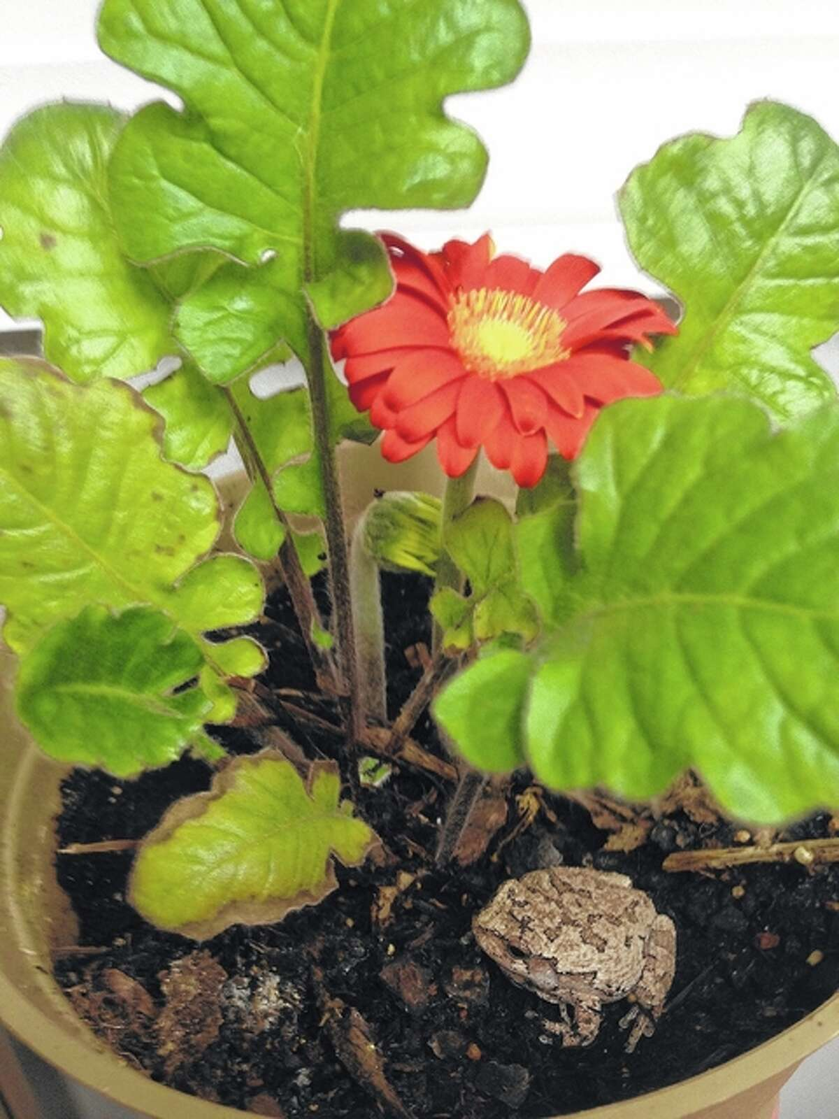 A small toad sits in a gerbera daisy pot.