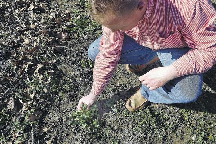 University of Illinois Extension Director Aaron Dufelmeier looks at a common weed — henbit — that has made an early appearance this year. Photo: Greg Olson | Journal-Courier