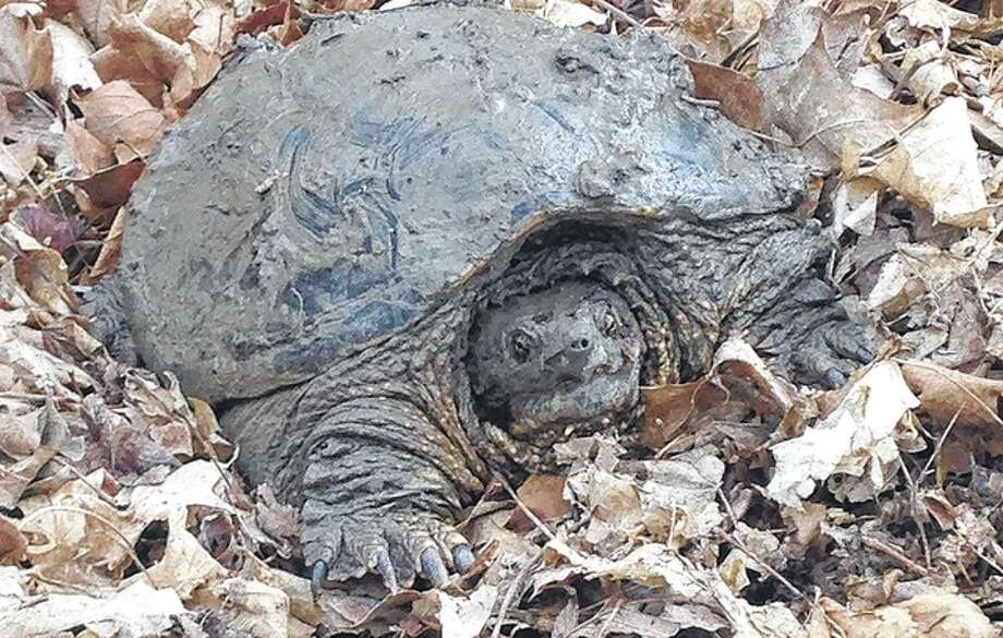 Reader Mary Ann Utley found this unexpected visitor — a large turtle — hanging out in her back yard.