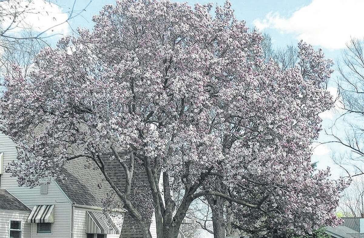 A sure sign of spring is the blooming of flowering trees across west-central Illinois. Spring begins today, marking the end of another winter.