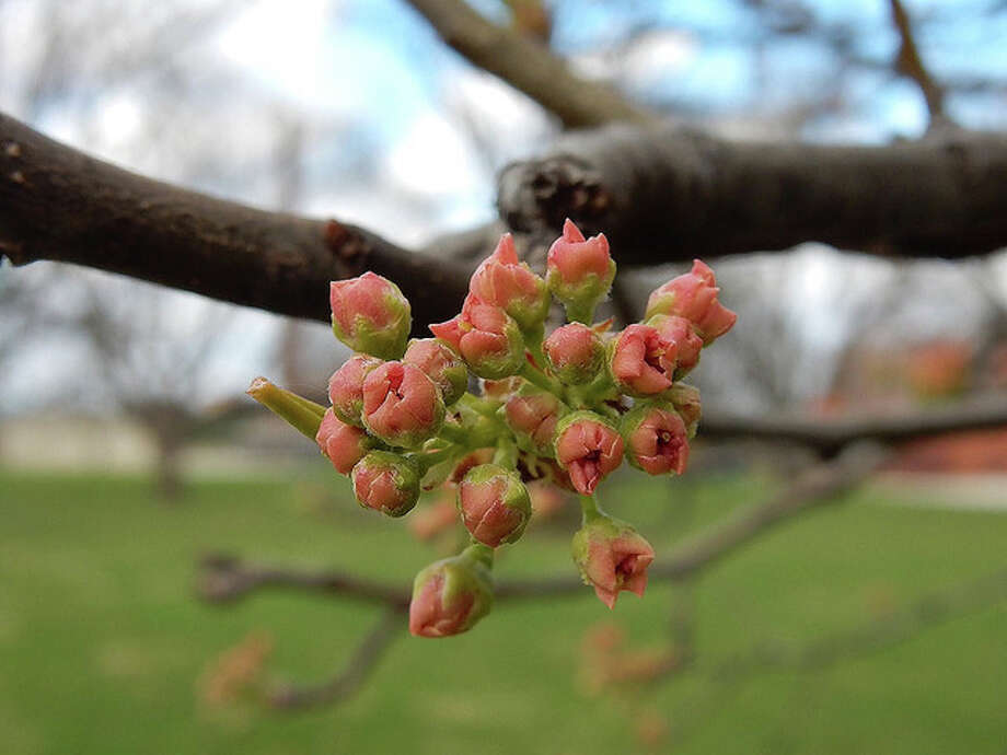 Buds on a tree at Community Park are ready to open to flower for spring.