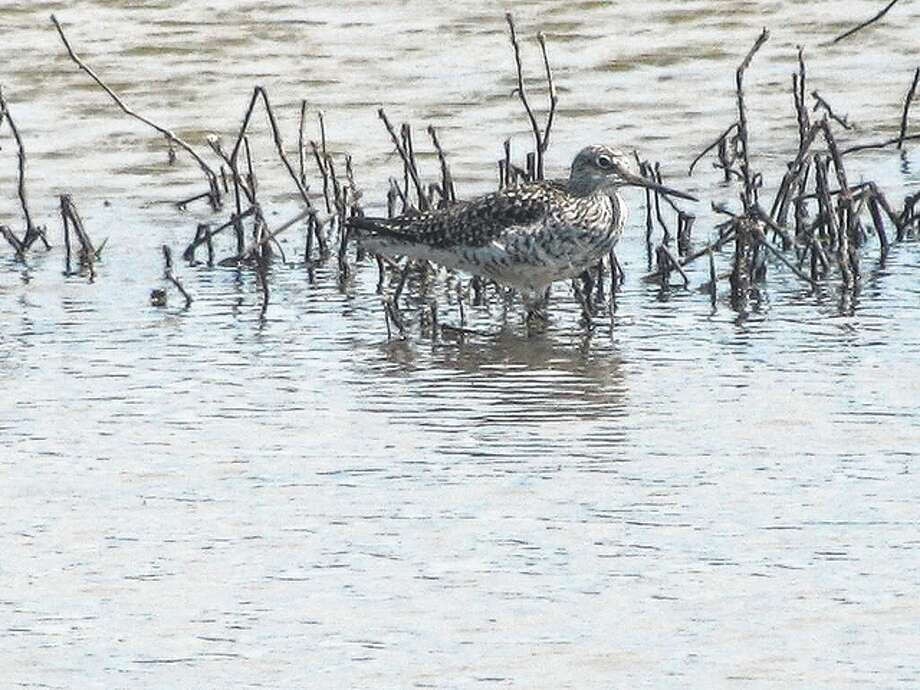 A sandpiper floats in a marshy area in rural Greene County. Photo: Beverly Watkins | Reader Photo