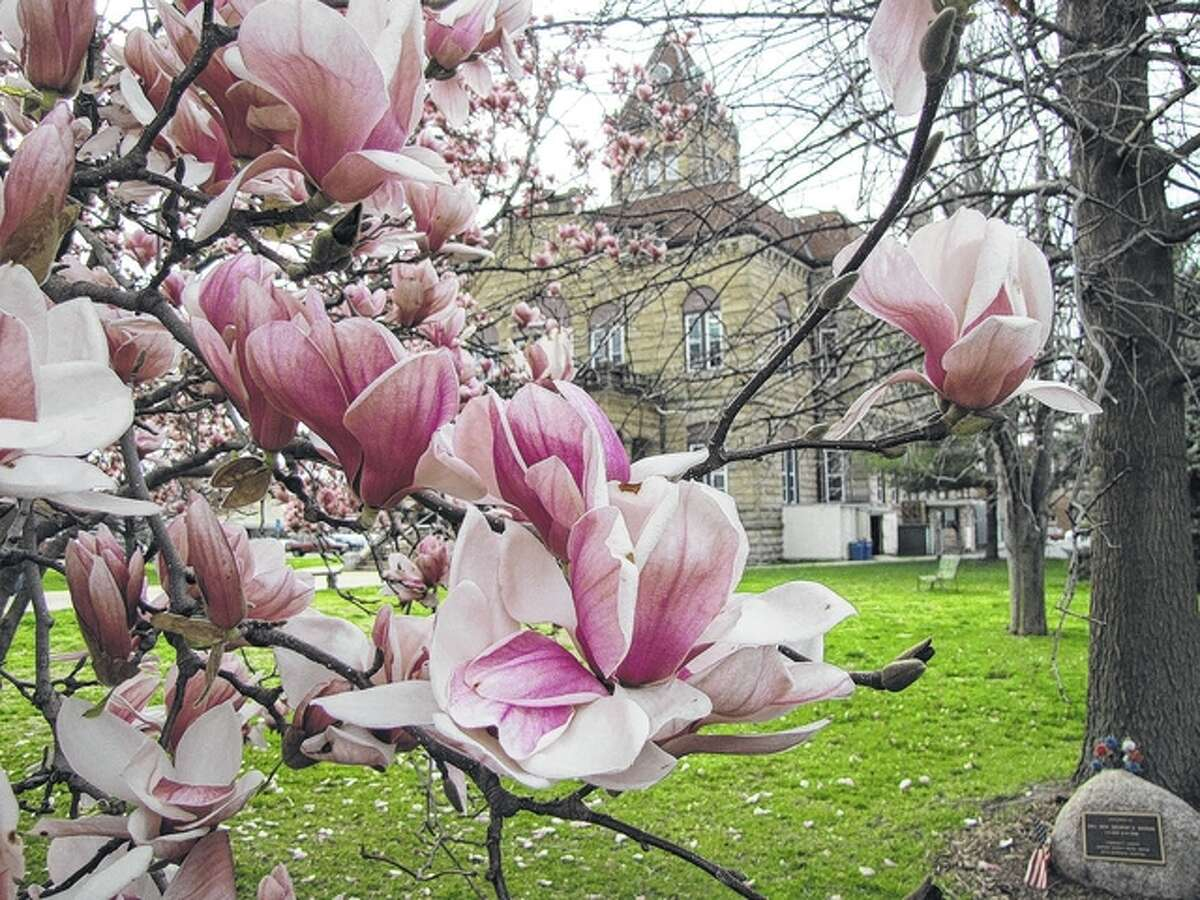 Magnolias provide a springtime frame for the Greene County Courthouse in Carrollton.