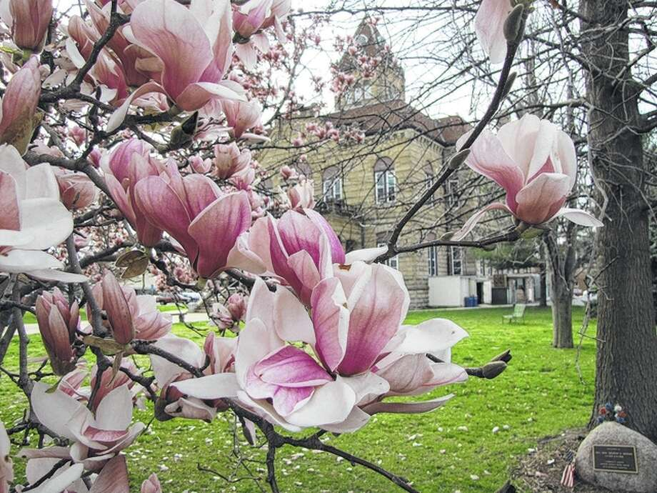 Magnolias provide a springtime frame for the Greene County Courthouse in Carrollton. Photo: Gary Coates | Reader Photo