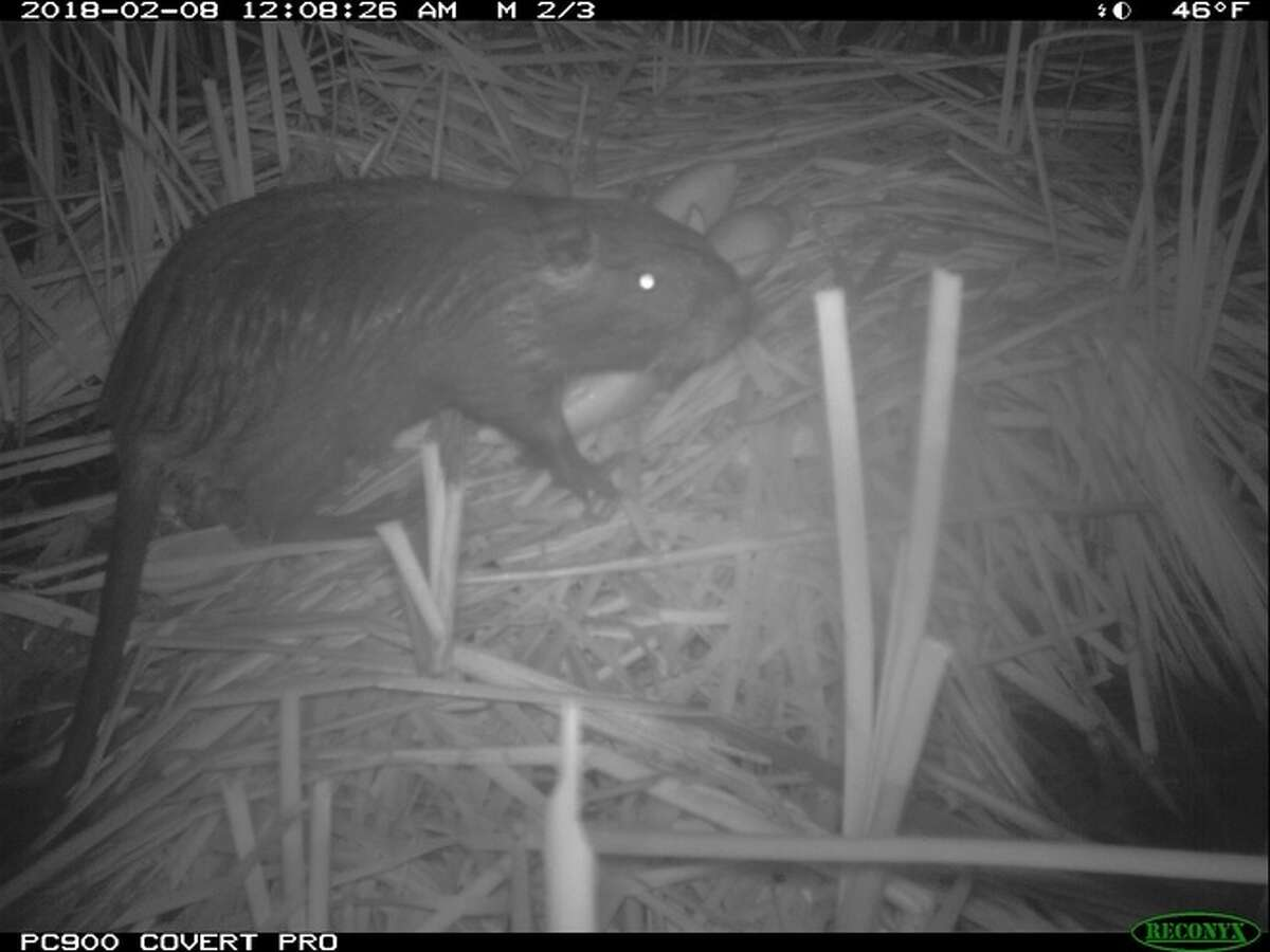 A giant 20-pound rodent with the ability to destroy roads, levees and wetlands has been discovered in Stanislaus County.