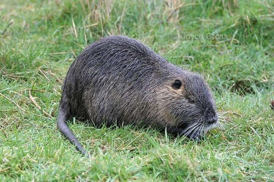A giant 20-pound rodent with the ability to destroy roads, levees and wetlands has been discovered in Stanislaus County. Photo: CA Department Of Fish And Wildlife