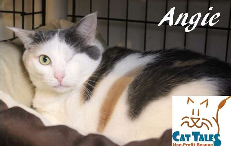 Name: Angie is a calico female, about 3 years old. She says, Hi, Im Angie! Aren't I so pretty? When I was found I had an infected eye. Sadly, it needed to be removed but I recovered nicely and am doing just fine with one eye. I need a quiet home with a patient person who will give me time to adjust. I like it when you speak to me softly before petting me. Then I will roll over and let you give me belly rubs and Ill talk back to you. I love to be petted and I love attention. Please adopt me. Visit http://www.CatTalesCT.org/cats/Angie, call 860-344-9043 or email: info@CatTalesCT.org Photo: Contributed Photo