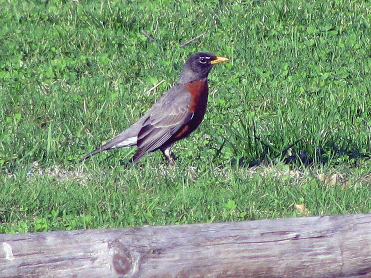 A robin searches the greening grass for a springtime snack.