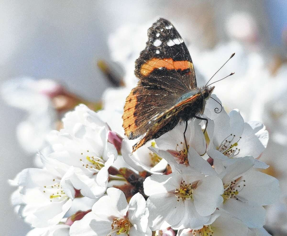 A butterfly makes a stop for a little nectar and pollen during its day's journey.