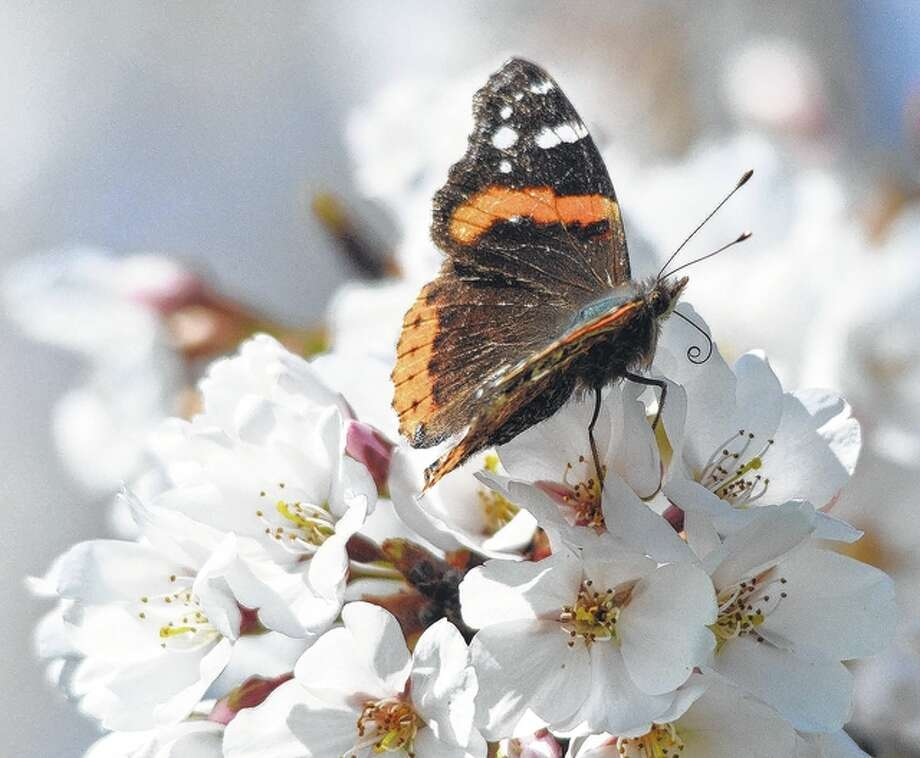 A butterfly makes a stop for a little nectar and pollen during its day's journey. Photo: Jeff Ruzicka | Reader Photo