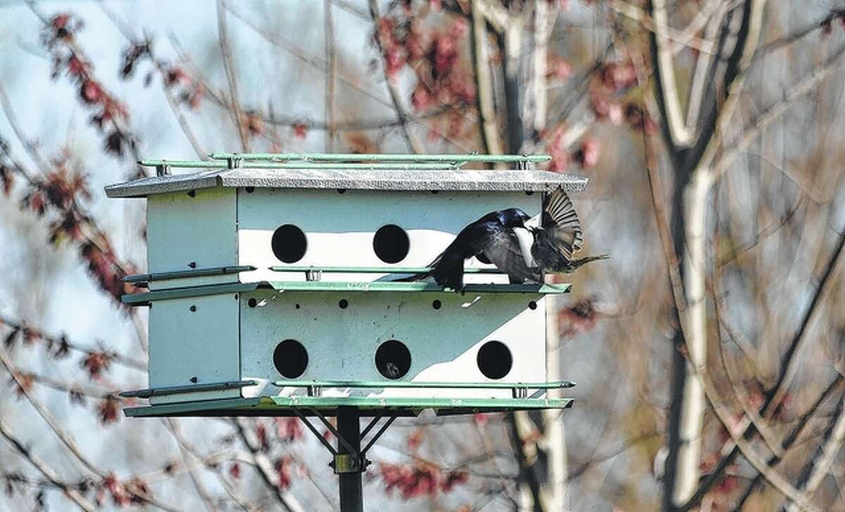 A purple martin claims its territory by running off a sparrow in Martinsburg.