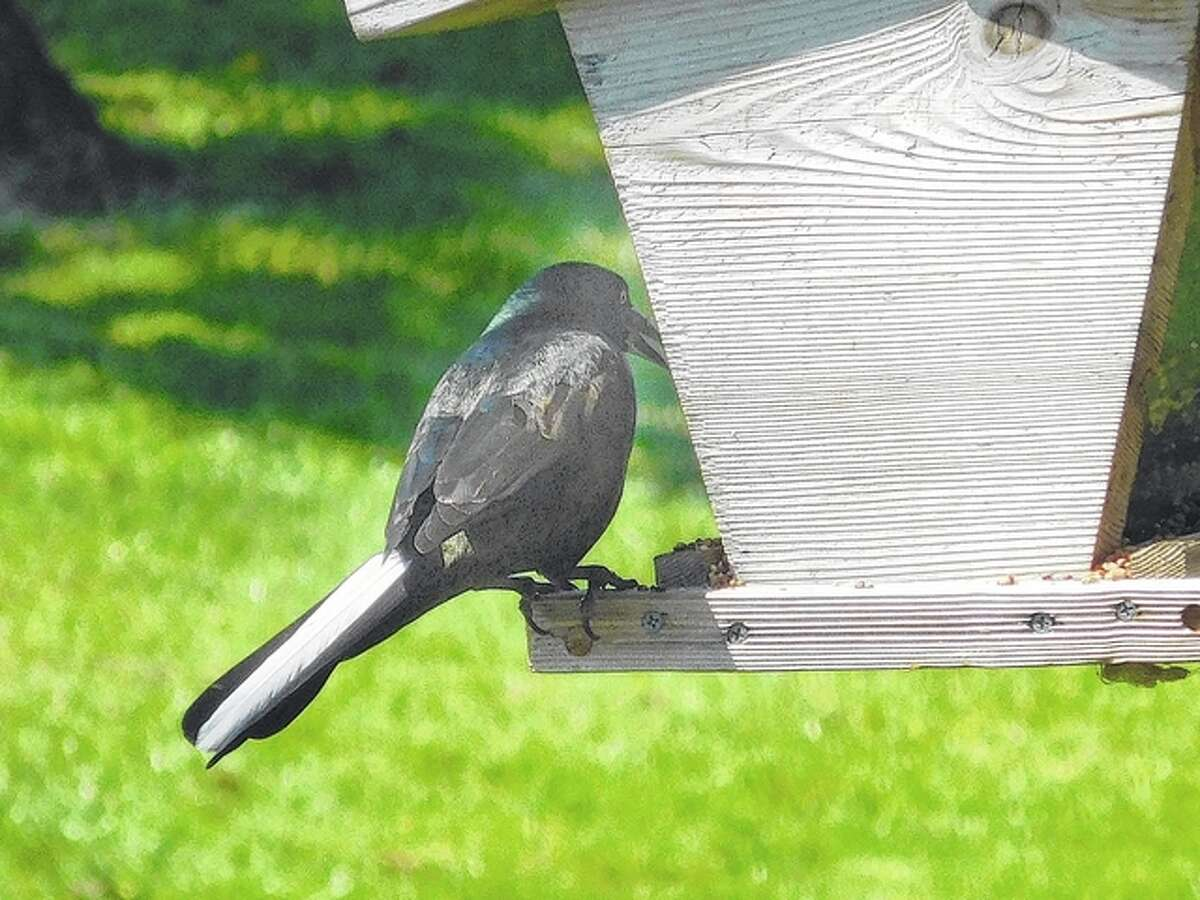 A blackbird with an unusual white tail frequents feeders in Winchester. Reader Tom Paul said it tends to strut around the other birds when it's there.