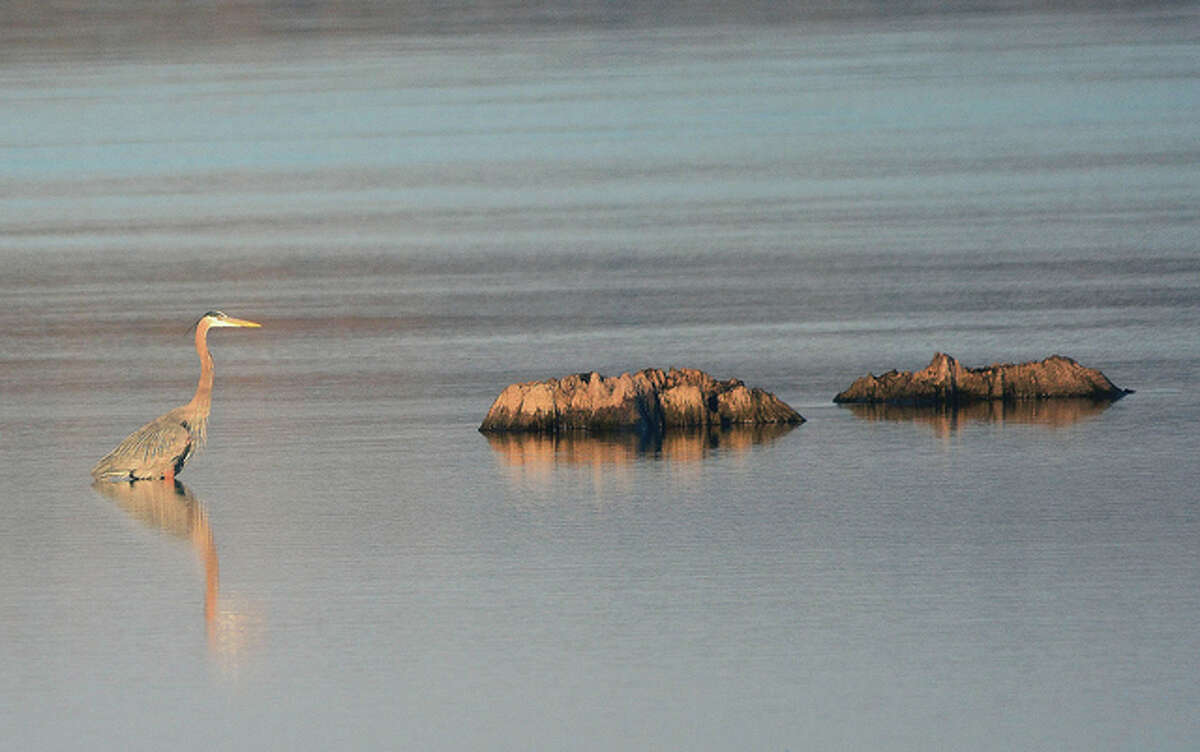 A blue heron relaxes in the water along the Mississippi River in Pike County.