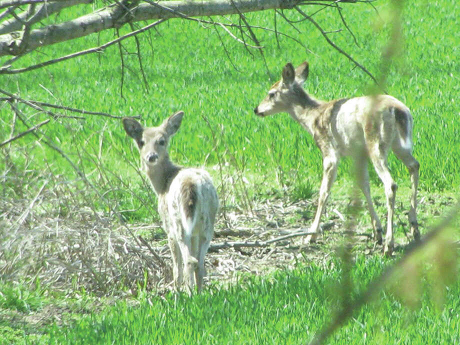 Some young deer graze near a creek in a meadow in Greene County.
