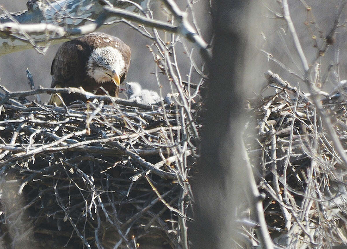 An eagle tends to the eaglets in its nest.