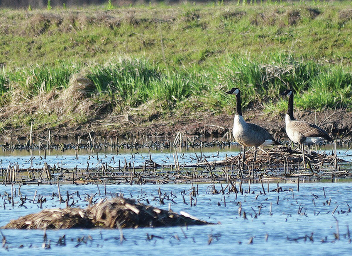 Geese start pairing up and look for nesting areas.