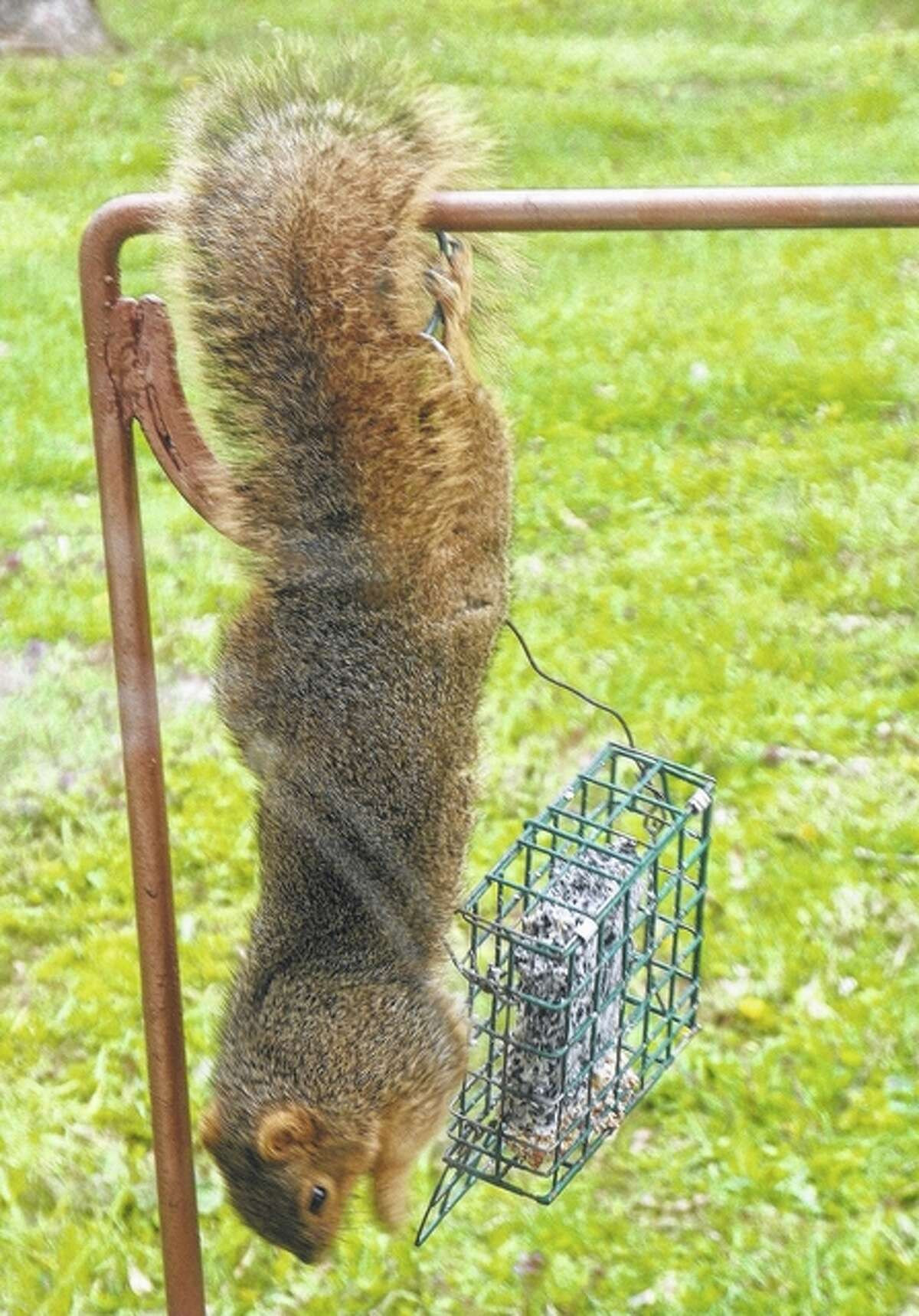 An acrobatic squirrel hangs by its tail to get a snack.