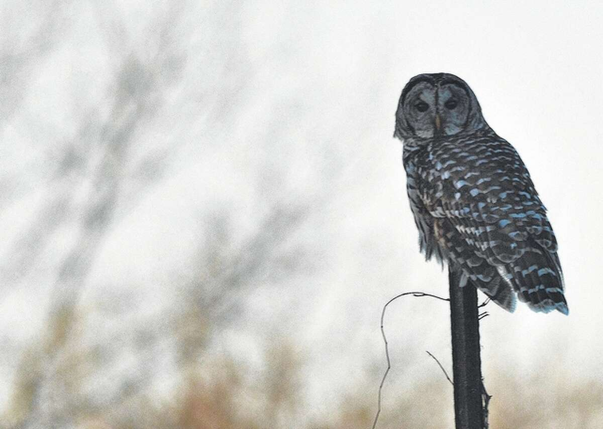 An owl surveys its surroundings from the branch of a tree.