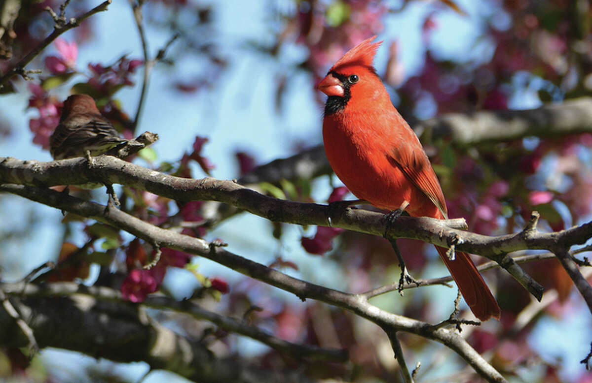 A cardinal finds a branch among the flowering buds of a tree in Pike County.