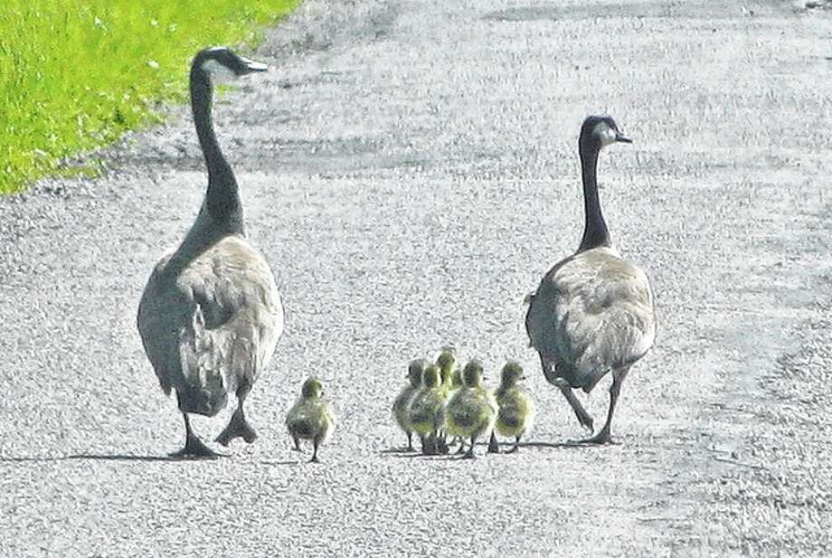 A pair of geese go for a stroll with their babies in rural Greene County. Photo: Beverly Watkins | Reader Photo
