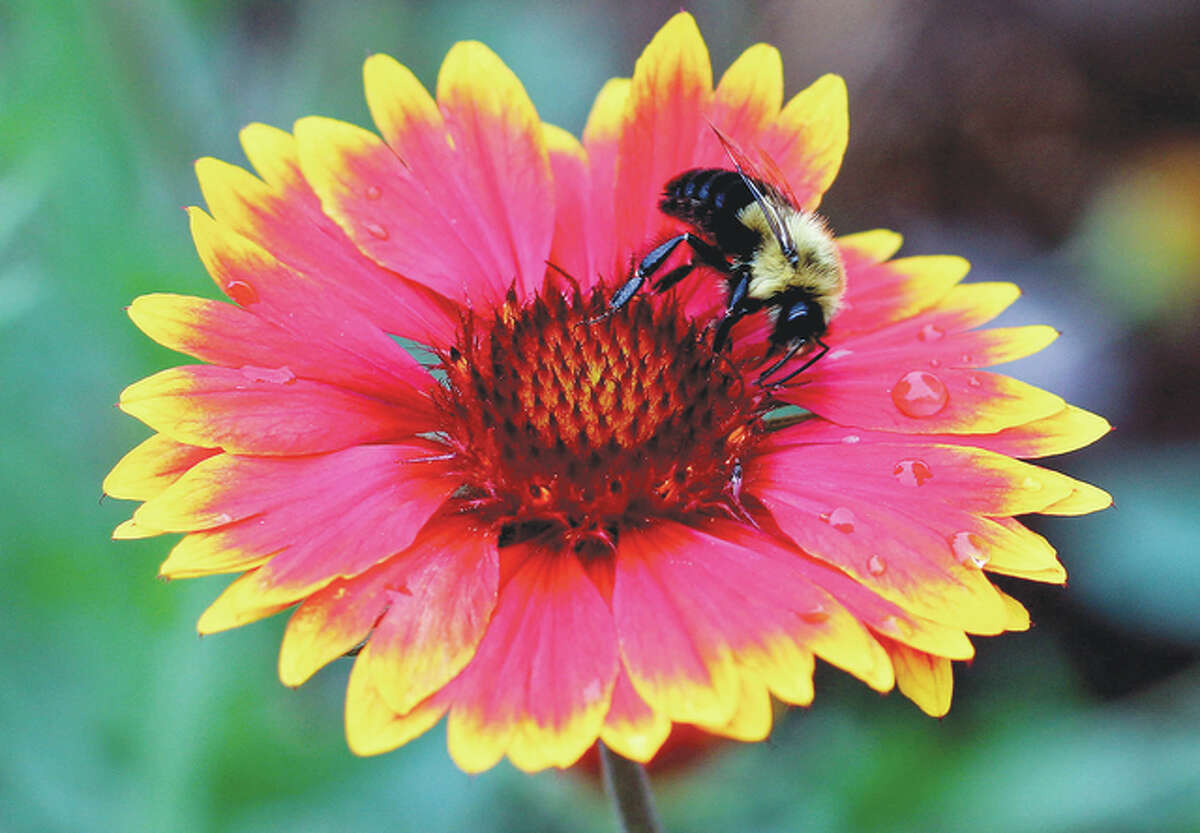 A bee looks for nectar after a spring rain in Jacksonville.