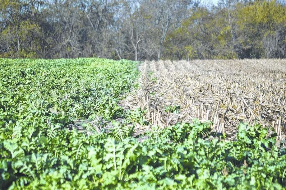 Radishes emerge in a Greene County soybean field. Their extensive root system helps aerate and secure nitrogen for commodity crop use in the spring.