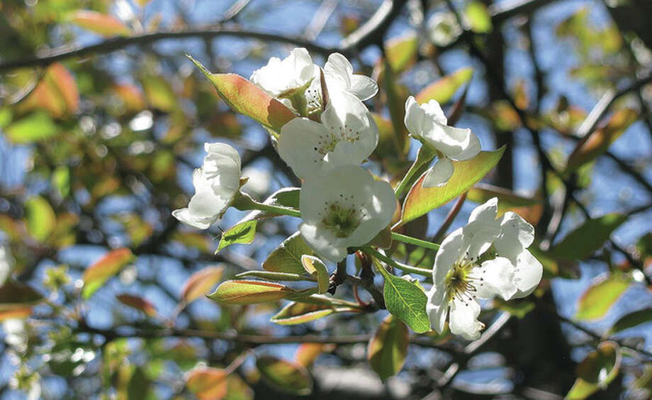 Pear blossoms fill a yard in Scottville.