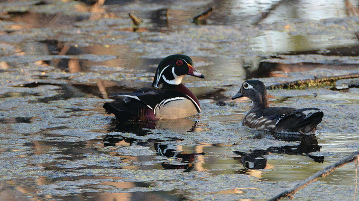 A male and a female wood duck glide through the water. These birds live in trees or in nest boxes put up around lakes. They are one of the few duck species equipped with strong claws capable of gripping bark and perching on branches.