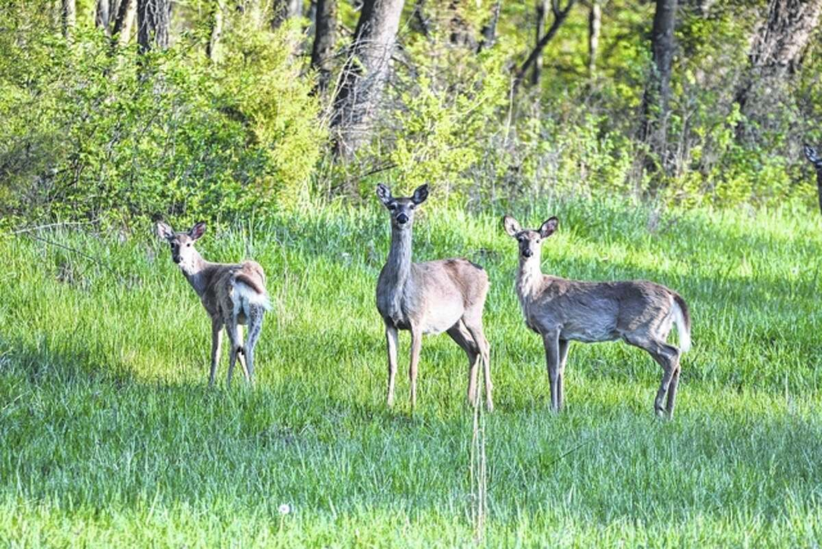Three deer are seen Sunday in a field in Pike County.