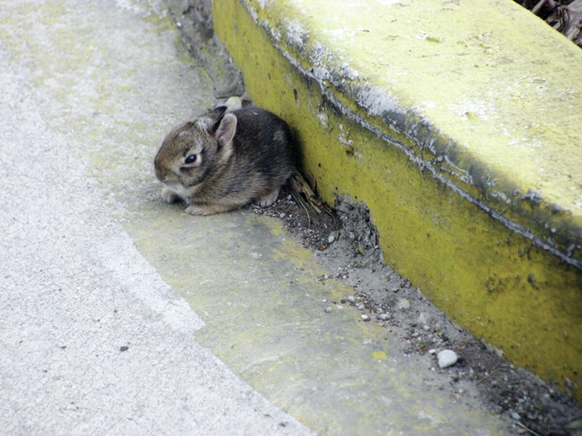 A bunny huddles by a curb in White Hall.
