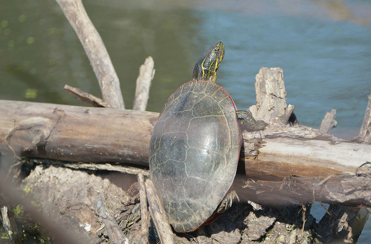 A turtle makes its way back to the water after spending a little time on land searching for food.
