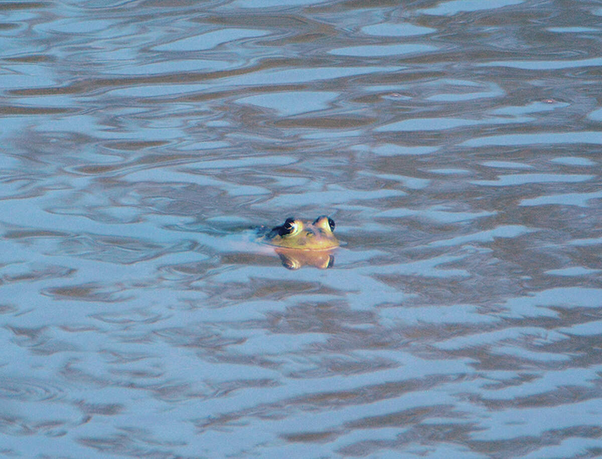 A bullfrog pokes its head above the water in a small pond.