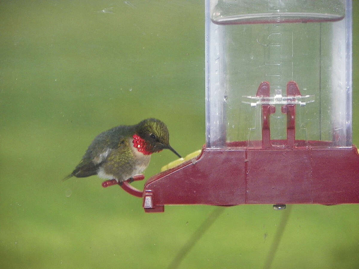A hummingbird enjoys a morning treat from a feeder.